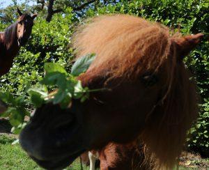 pepermunt voor paarden