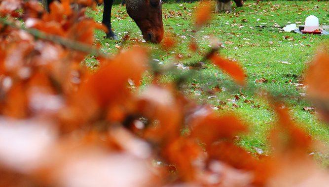 Koper, kopertekort paard