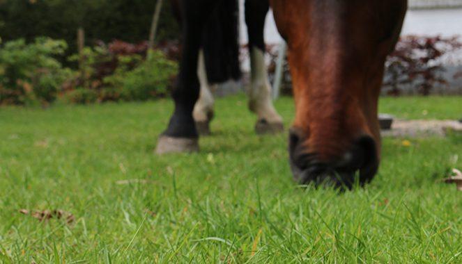 Kruiden voor paarden; paardenbloem