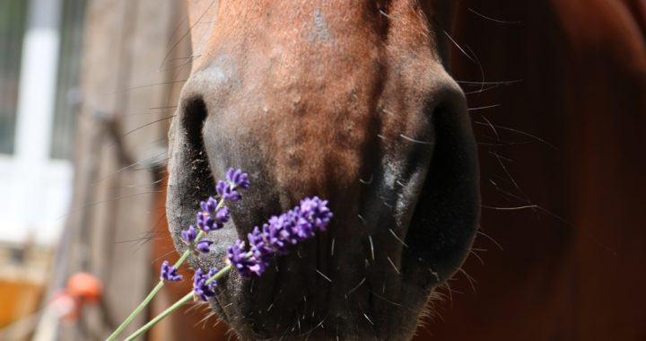 Aromatherapie paard; lavendel