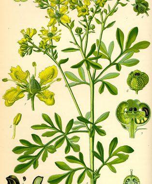 Homeopathie paard; Ruta graveolens, wijnruit