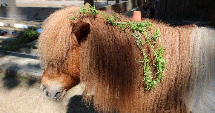 Kruiden voor paarden; kleefkruid